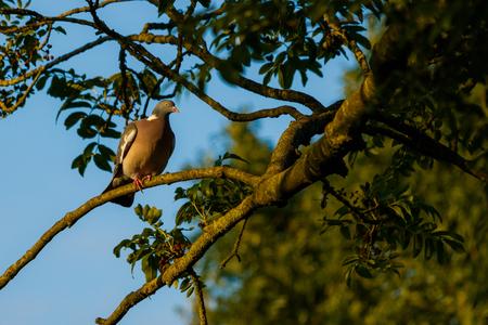 Houtduif - outduif. Na een tip de ISO eens op 400 gezet ipv 100 a 200. Wow wat een verschil zeg. - foto door janlohman op 29-07-2020 - deze foto bevat: vogel, duif, tree, pigeon, vogelfotografie, naturephotography