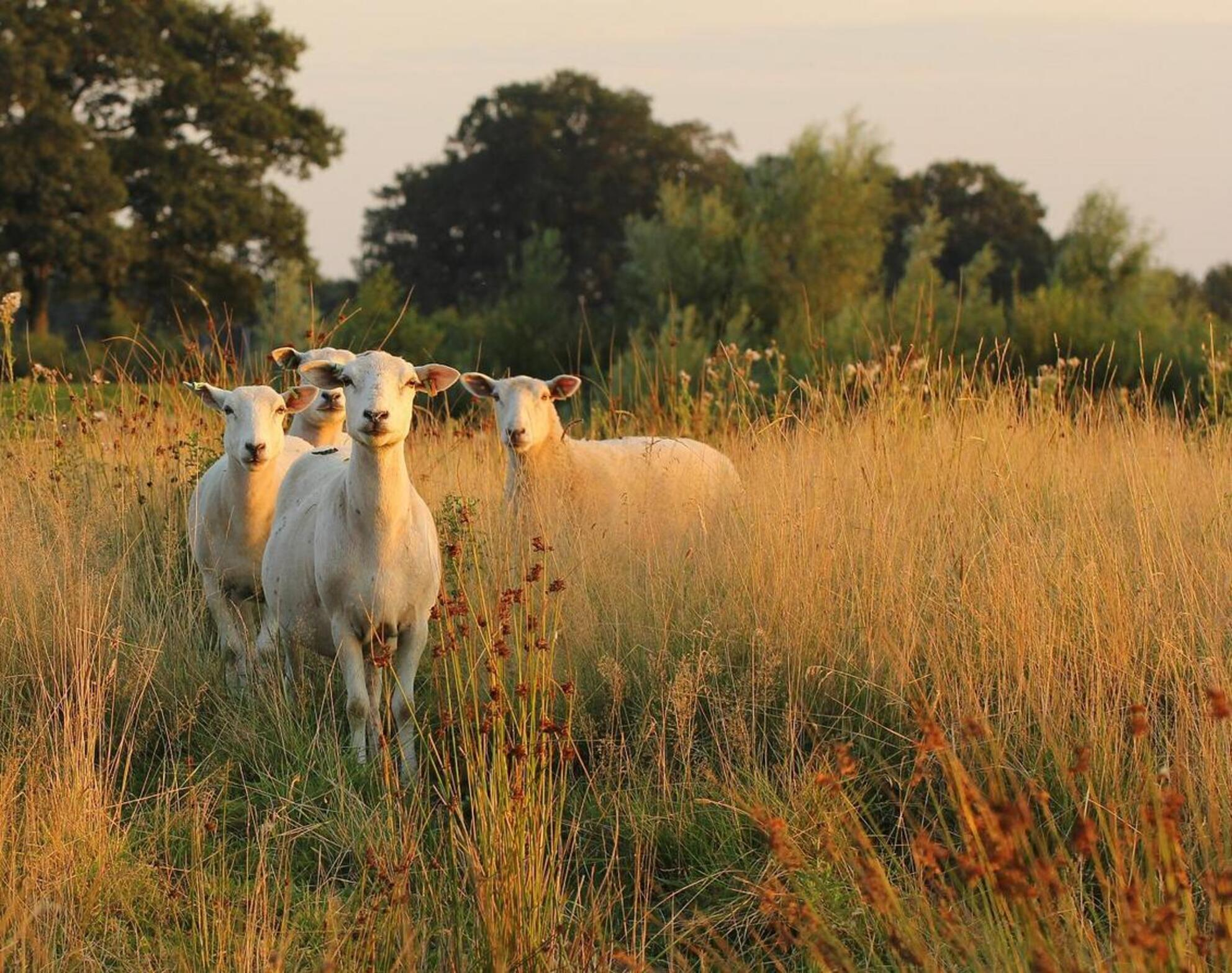Wat doe je hier ?? - Vier schapen bij Loozen, vlak voor zonsondergang. - foto door Duckie_zoom op 27-08-2013 - deze foto bevat: gras, zonsondergang, schaap, ogen, macrolens, loozen - Deze foto mag gebruikt worden in een Zoom.nl publicatie