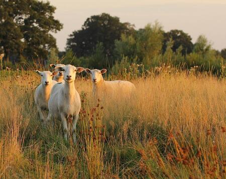 Wat doe je hier ?? - Vier schapen bij Loozen, vlak voor zonsondergang. - foto door Duckie_zoom op 27-08-2013 - deze foto bevat: gras, zonsondergang, schaap, ogen, macrolens, loozen