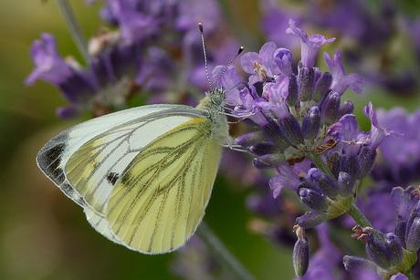 Ook vlinders houden van nectar