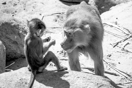 en laat ik het niet nog een keer zien..begrepen? - - - foto door wardkeijzer op 18-06-2019 - deze foto bevat: dierentuin, safari, aap, ogen, baviaan, amersfoort, interactie, zwart wit