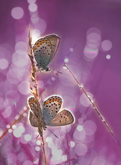 Heidepaarsblauwtje