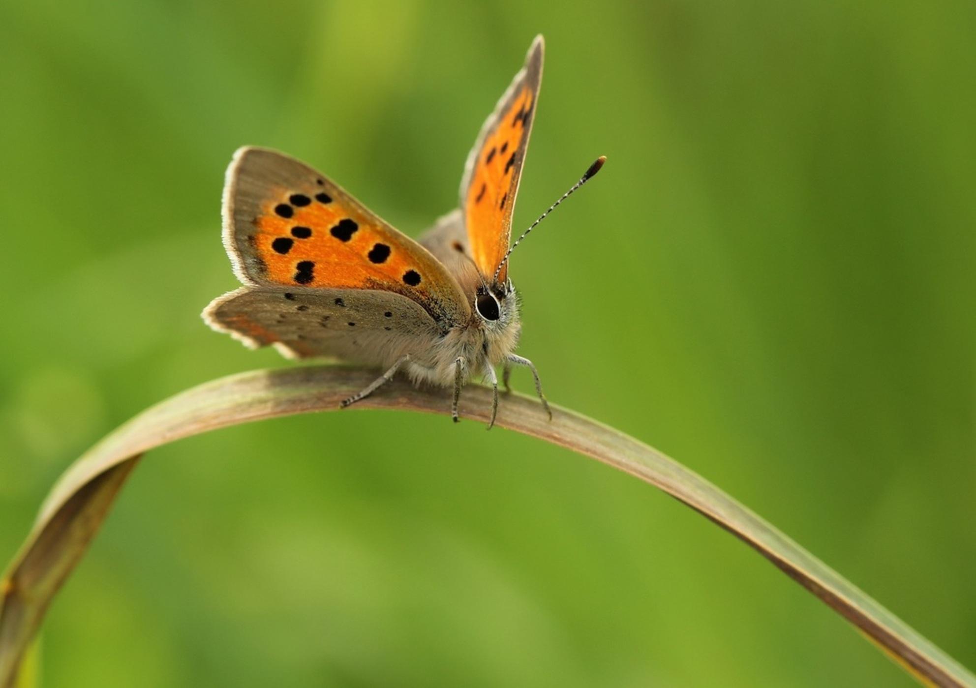Kleine Vuurvlinder - Kleine Vuurvlinder in de berm langs klinkerweggetje. - foto door Duckie_zoom op 14-06-2017 - Deze foto mag gebruikt worden in een Zoom.nl publicatie