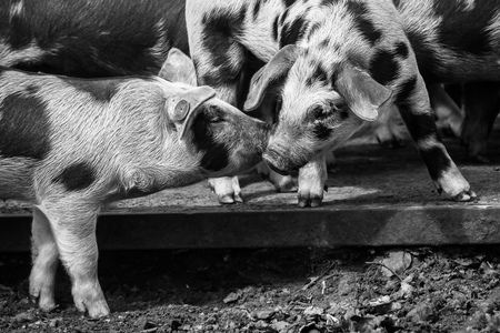 Moet je horen... - In een bos bij Leersum lopen kleine biggetjes met hun moeder lekker te scharrelen op een voor hen afgezet stuk in het bos. Deze twee biggetjes op de  - foto door Zoom4Hans op 04-05-2021 - locatie: 3956 Leersum, Nederland - deze foto bevat: zwart-wit, biggetjes, dieren, zwart en wit, stijl, gras, fawn, zwijn, snuit, terrestrische dieren, bakkebaarden, monochroom, monochrome fotografie