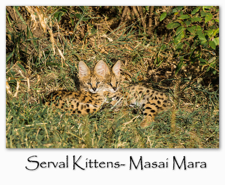 Serval kittens in de Masai Mara