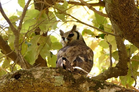 verreaux,s eagle owl