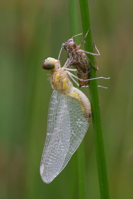 uitgeslopen libelle