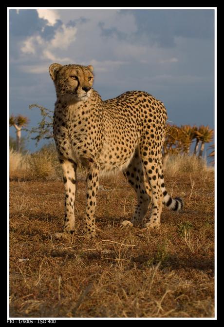 Cheetah poserend