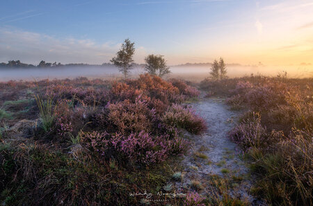 Strabrechtse heide - Paarse heide en mist - foto door wendy1985 op 16-11-2020 - deze foto bevat: lucht, zon, natuur, licht, landschap, mist, heide, zonsopkomst, heeze, Bloeiende heide, Noord Brabant, Strabrechtse heide, paarse heide