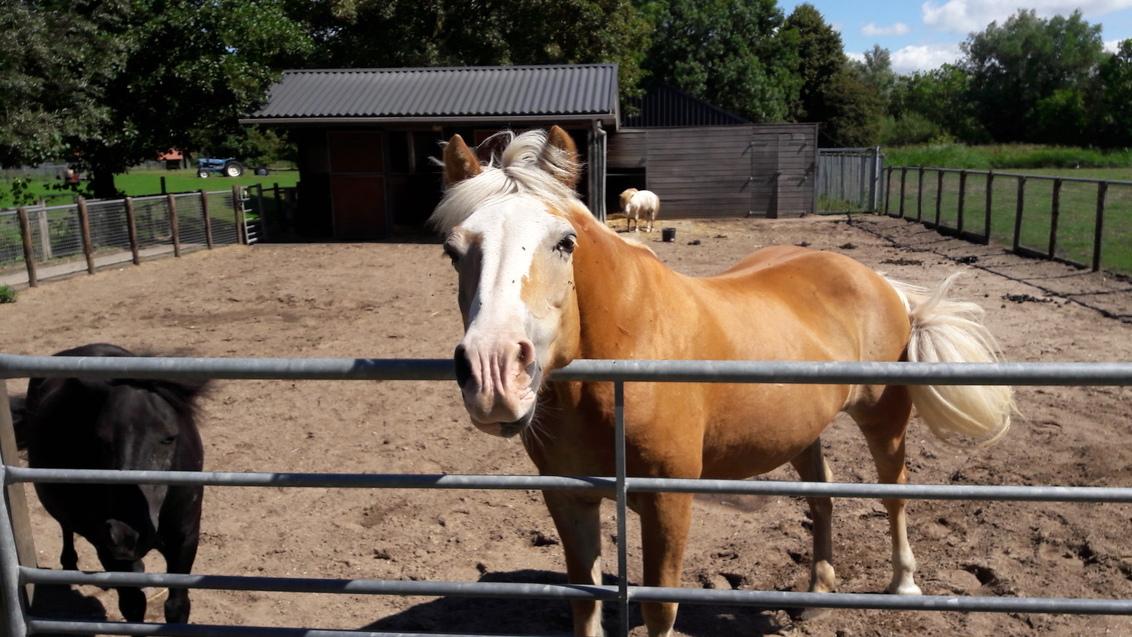 snuitje - warme zomer ochtend. - foto door RolandvanTol op 27-02-2021 - deze foto bevat: paarden, dieren, pony, shetlander, snuit, stal, snuitje, halflinger, paardenbak