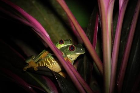 Roodoog kikker Costa Rica.