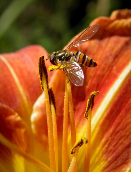 On the top of a lily - pyjama zweefvlieg boven op een lelie - foto door Vissernpz op 08-04-2021 - locatie: 9988 TE Noordpolderzijl, Nederland - deze foto bevat: vlieg, insect, oranje, bloem, zomer, lelie, bloem, fabriek, bestuiver, insect, geleedpotigen, bloemblaadje, plantkunde, oranje, honingbij, plaag