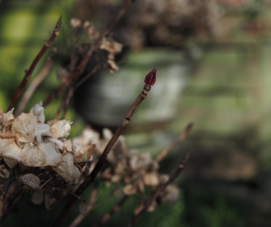 Nieuw Leven .... - Aan de punt.... Het begint weer te komen ... - foto door pietsnoeier op 27-02-2017 - deze foto bevat: rood, macro, bloem, natuur, tuin, blad, knop, hortensia, voorjaar, dof, bokeh