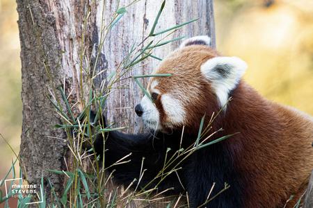 Rode panda - Foto gemaakt in Gaiazoo - foto door MartineStevens op 06-12-2020 - deze foto bevat: dierentuin, wildlife, panda