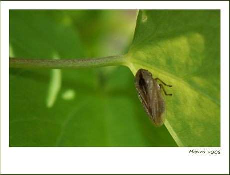 Cicade!