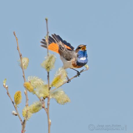 de lentevogel