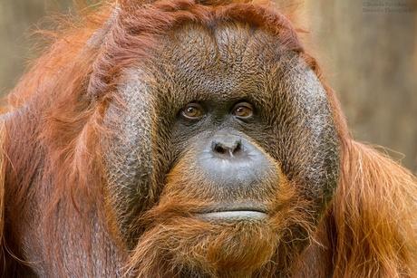 Borneo Orang oetan1
