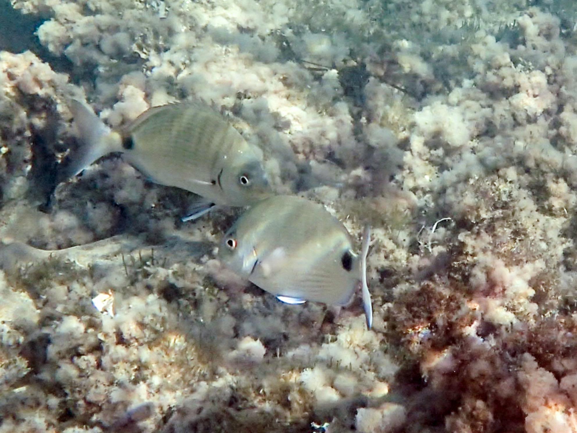 Gesnorkeld Geringde zeebrasem (Diplodus annularis) - Love is in the water...... - foto door AnnekevanVliet op 02-11-2020 - Deze foto mag gebruikt worden in een Zoom.nl publicatie