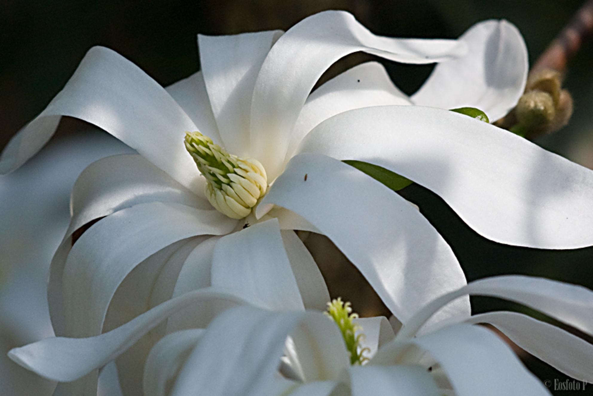 Stermagnolia - de tuin leeft weer op.  Deze stermagnolia kreeg enkele zonnestralen.  Slierten witte blaadjes liggen beschermend om het knopje; - foto door Agly op 13-04-2010 - deze foto bevat: lente, tuin, magnolia, Stermagnolia - Deze foto mag gebruikt worden in een Zoom.nl publicatie