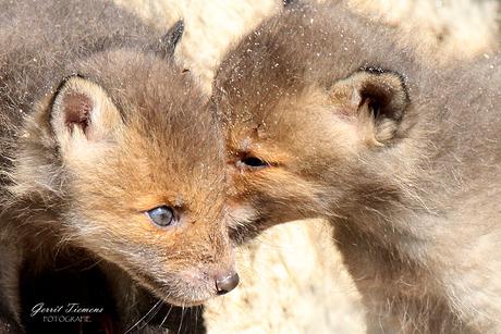 Jonge vossen  voor de Burcht