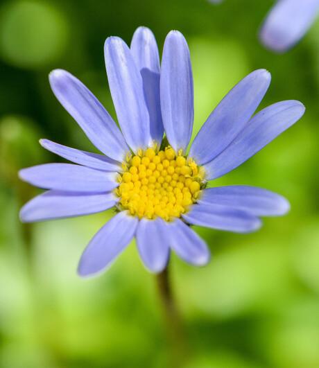 Blauwe Margriet