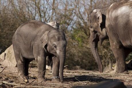 Olifanten in Blijdorp