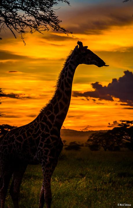 Sunset Giraffe