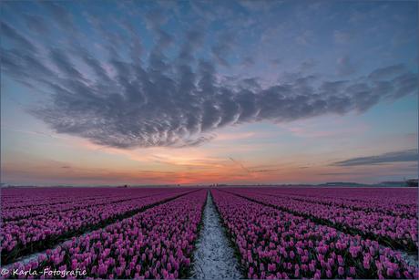 Zonsopkomst boven de tulpen.