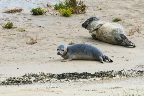 jong zeehondje met moeders
