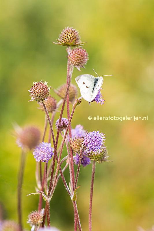 Koolwitje - Het nageslacht zeker gesteld kunnen ze nog even genieten van de mooie herfstdagen. - foto door ellen-zeist op 06-10-2015 - deze foto bevat: paars, macro, bloem, natuur, vlinder, herfst, insect, dof