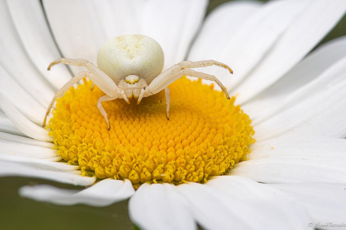 Strike a pose... - - - foto door frankjacobs op 19-05-2019 - deze foto bevat: groen, macro, zon, bloem, natuur, spin, geel, licht, oranje, zomer, insect, nikon, dof, krabspin, kameleonspin, frank jacobs, frankjacobs, nikon d5
