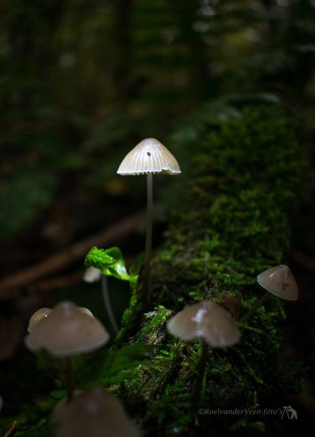 paddenstoeltje