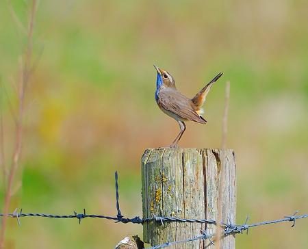 blauwborst - kleurrijke zangvogel - foto door wamberg1960 op 09-04-2021 - deze foto bevat: blauwborst, natuur, kleurrijk, zangvogel, vogel, bek, takje, afdeling, hek, veer, hout, vleugel, zangvogel, draadafrastering