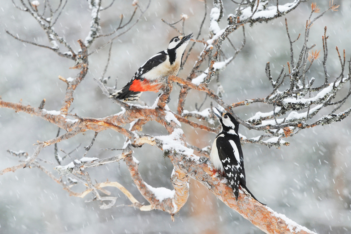 Winter... - Vooruitlopend op een strenge winter? Wie weet! Foto is gemaakt in Zweden, het was errug mooi toen maar ook errug koud! - foto door guurtje op 12-11-2015 - deze foto bevat: boom, sneeuw, winter, dieren, ijs, vogel, bos, zweden, guurtje, Grote Bonte Specht