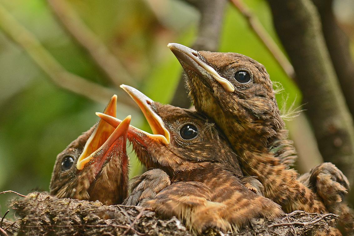 Overvol. - Weinig ruimte meer in het nest. Ze zullen vandaag of morgen gaan uitvliegen. Door een ruit in mijn bloemenkasje te laten zakken zit ik met de camera - foto door Apo op 08-07-2016 - deze foto bevat: vogelnest, macro., jonge merels