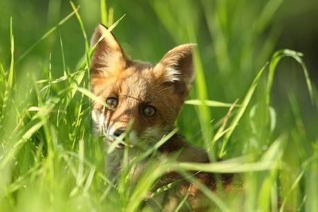 Nieuwsgierig vosje