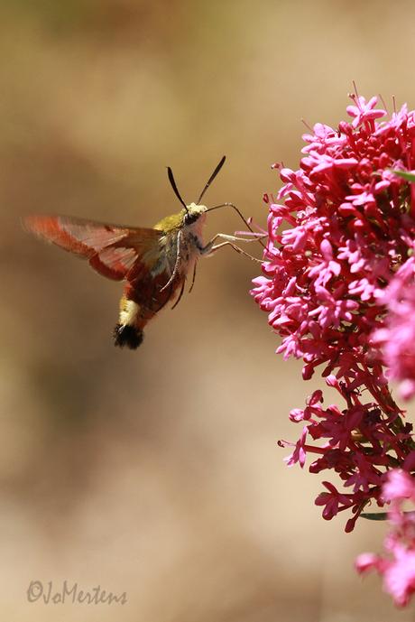 kolibrievlinder 3