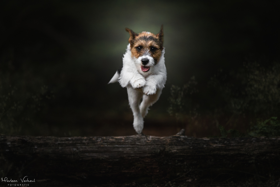 Jumping Jazz - - - foto door MarleenVerheulFotografie op 14-06-2020 - deze foto bevat: dieren, huisdier, hond, hondenfotografie, hondenfotograaf