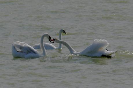 zwanen IJsselmeer 3-6-15