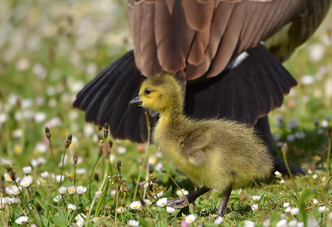 Achter mama's rug - - - foto door hayke op 01-04-2021 - deze foto bevat: canadese gans, hayke