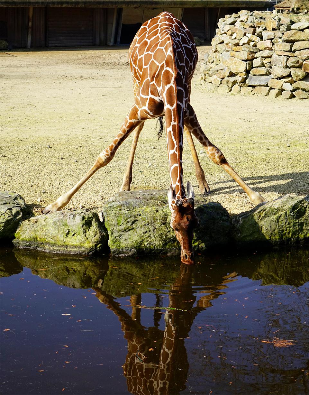 Lange poten - Het valt niet mee om bij het water te komen voor deze langbeen. Ik voel met hem mee. gr. Nel - foto door Nel Hoetmer op 18-03-2014 - deze foto bevat: dieren, artis, nel