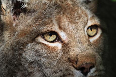 Lynx mystiek