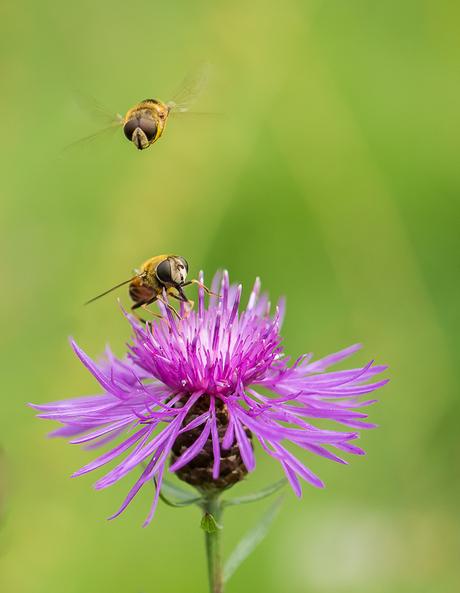 Blinde bijen (zweefvliegen) op knoopkruid