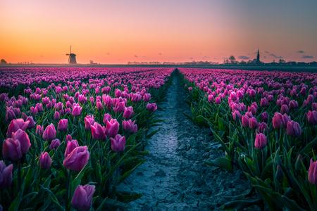Schermerhorn - Gezicht op Bovenmolen G en Scherhorn - foto door p.heins op 26-04-2021 - locatie: 1636 Schermerhorn, Nederland - deze foto bevat: tulpen, molen, zonsopkomst, tegenlicht, ochtend, lente, bloem, fabriek, lucht, dag, ecoregio, purper, natuurlijk landschap, bloemblaadje, natuurlijke omgeving, wolk