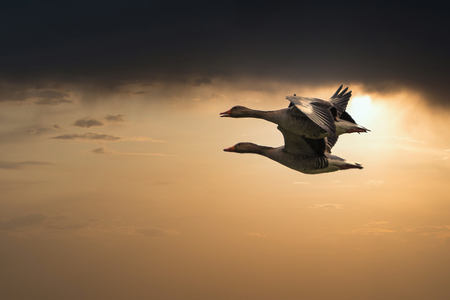 Koppeltje ganzen. - Ganzen met tegenlicht. - foto door Kompieter op 14-04-2021 - deze foto bevat: wolk, lucht, zonsondergang, bek, zeevogel, schemer, vleugel, water, zonsopkomst, achtergrondverlichting