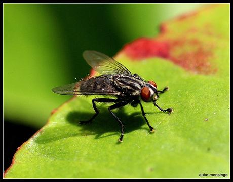close up van een vlieg
