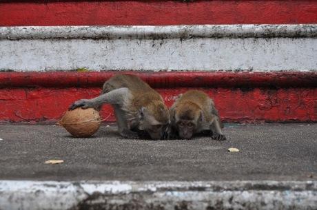 drinkende aapjes