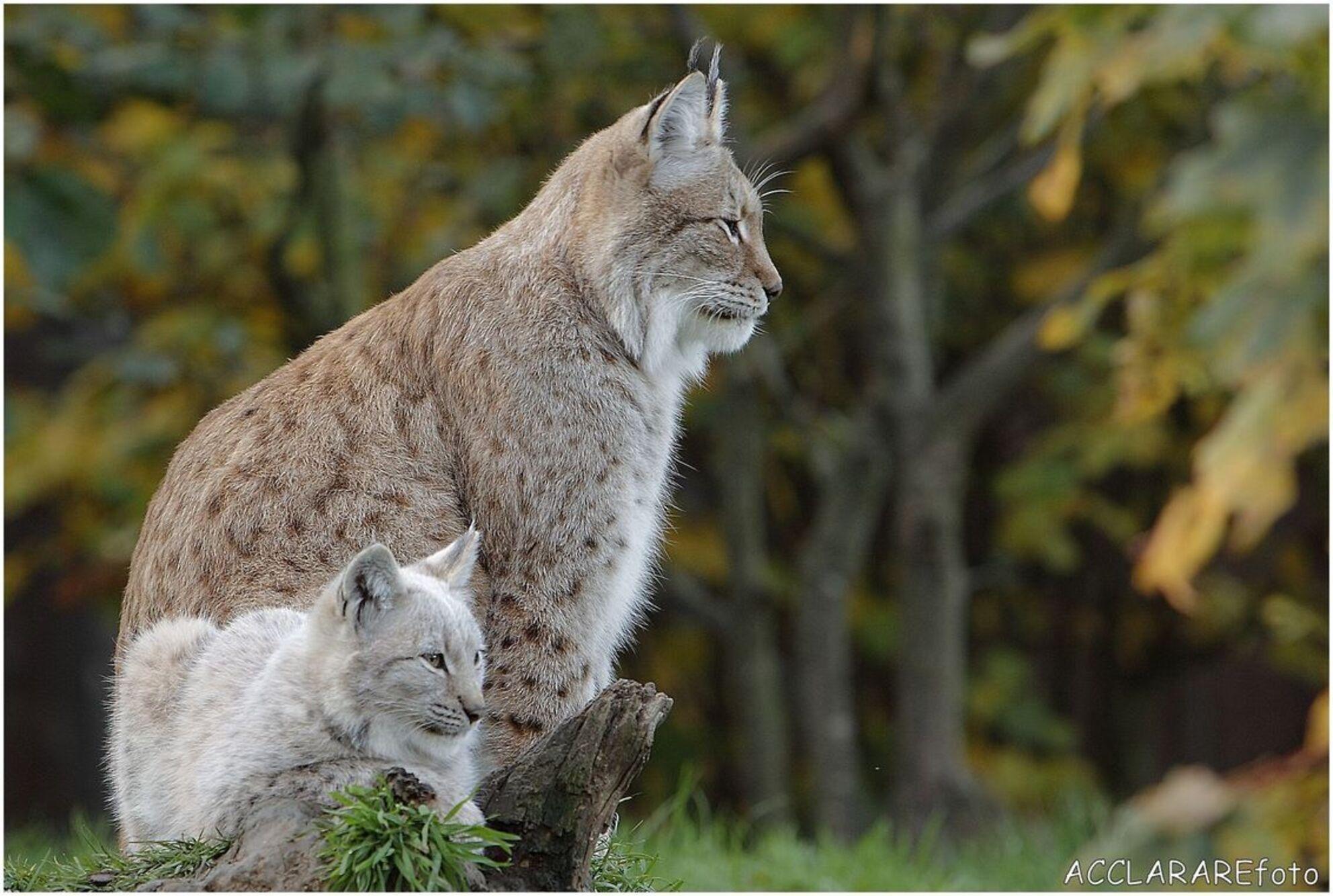 lynx met jong - lynx - foto door 1950hans op 30-06-2014 - deze foto bevat: dierentuin, natuur, dieren
