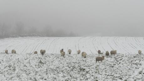 Sneeuw, schapen en mist