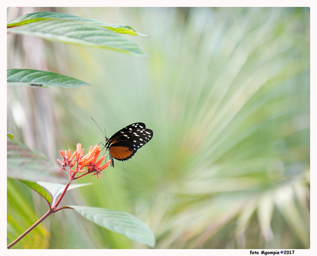 Tijgerpassiebloemvlinder